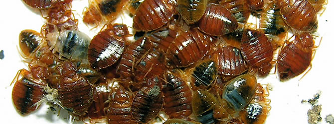Birmingham Pest Control Service: professional pest control service for Bed Bugs Wolverhampton, Birmingham & The West Midlands, please contact us for more info.