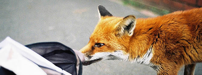 Birmingham Pest Control Service: professional pest control service for Foxes Wolverhampton, Birmingham & The West Midlands, please contact us for more info.