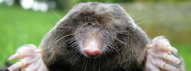 Birmingham Pest Control Service: professional pest control service for Moles Wolverhampton, Birmingham & The West Midlands, please contact us for more info.