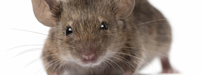 Birmingham Pest Control Service: professional pest control service for Mices/Common House Mouse Wolverhampton, Birmingham & The West Midlands, please contact us for more info.