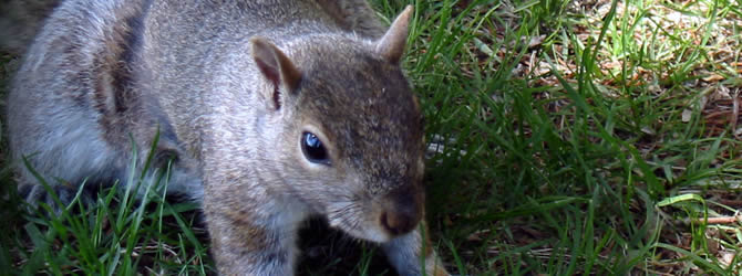 Birmingham Pest Control Service: professional pest control service for Squirrels Wolverhampton, Birmingham & The West Midlands, please contact us for more info.