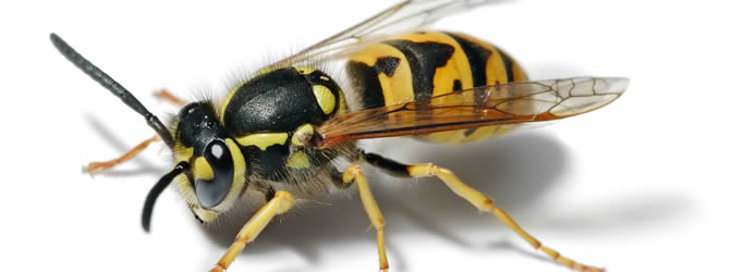 Birmingham Pest Control Service: professional pest control service for Wasps Wolverhampton, Birmingham & The West Midlands, please contact us for more info.