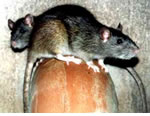 Rat Pest Control for Wolverhampton, Birmingham and The West Midlands.